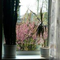 рацвела сакура под окном :: Леонид Натапов