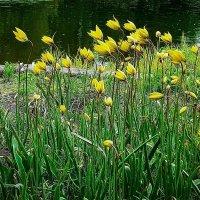 Трепетные цветы у воды на ветру :: Nina Yudicheva