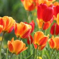 Тюльпаны. :: Ирина Королева