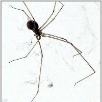 паук :: Сергей Короленко