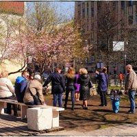 Цветение сакуры на Литейном проспекте :: Станислав Лебединский