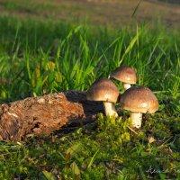 Первомайские грибы. :: Алиса Терновая