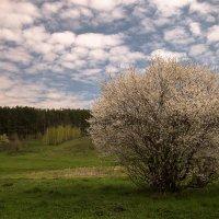 Цветёт вишня :: Тамара Цилиакус