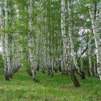 Я в весеннем лесу ... :: Владимир Горбунов