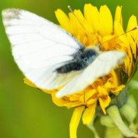 Бабочка :: Yelena LUCHitskaya