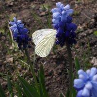 Бабочка :: Анатолий