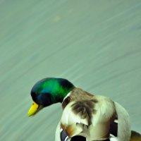 Живописная уточка :: Albina
