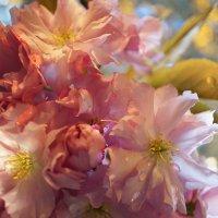 Вешней вишни прозрачно цветенье :: Татьяна Кадочникова