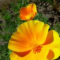 Солнечный цветок :: Валерий Талашов