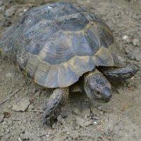 Большая ,старая черепаха. :: Береславская Елена
