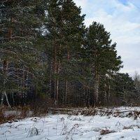 Рождественский лес :: Алексей Вольтов