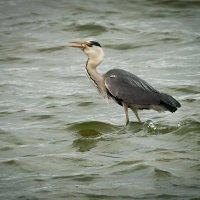 Цапа на рыбалке 3 :: Виталий Латышонок