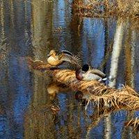 Утки в пруду. :: Марина Никулина
