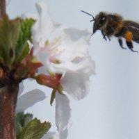 Начались трудовые будни пчелы :: Вера