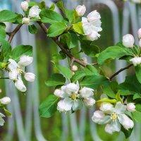 Будут яблоки :: Любовь Потеряхина