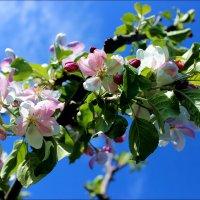 Яблоня цветет :: Татьяна Пальчикова