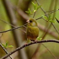 зеленушка :: linnud