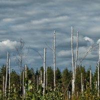лес :: Алексей Немчинов