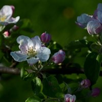 Когда яблони цветут... :: Александр Бойко