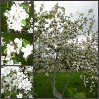 яблони в цвету :: Людмила