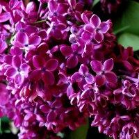 Сиреневый цвет... :: Тамара (st.tamara)