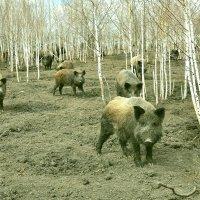 Сибирские кабаны :: Владимир Зыбин