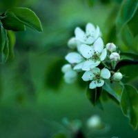 груша в цвету :: Peteris Kalmuks