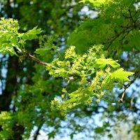 Скоро  начнется цветение лип.... :: Galina Dzubina