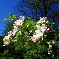 Яблоневый цвет! :: Galina Dzubina