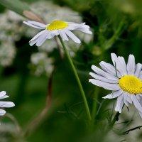 Полевые цветы. Ромашки. :: kolin