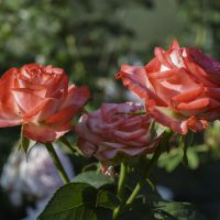 Розы :: Алексей Вольтов