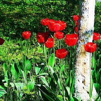Тюльпаны у дерева :: Маргарита Батырева
