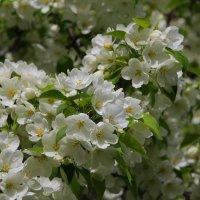 яблонька цветет :: leoligra