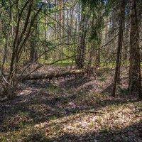 Апрельский лес :: Андрей Дворников