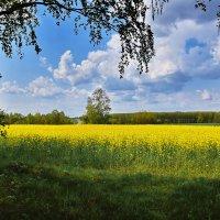 Рапс  цвететю :: Валера39 Василевский.