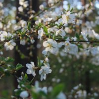 весна.... :: Helga Shiryaeva