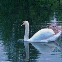 одинокий лебедь :: юрий иванов
