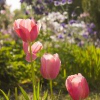 Тюльпаны :: Юля Колосова