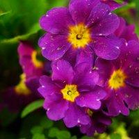Примула в моём саду :: Galina Belugina