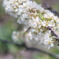 Цветение сливы садовой :: Andrey Shch.