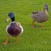 Duck's Walking :: Roman Ilnytskyi