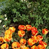 Майские тюльпаны! :: Светлана Калмыкова