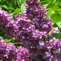 Сирень еще цветет! :: Варвара