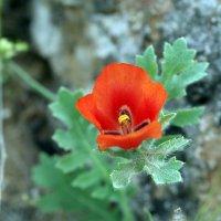 Горные растения.МАК. :: Gudret Aghayev