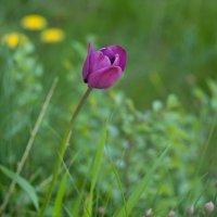 бутон тюльпана :: Анастасия