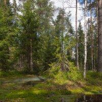 В хвойном лесу :: Светлана