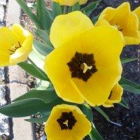 Солнечные тюльпаны :: BoxerMak Mak