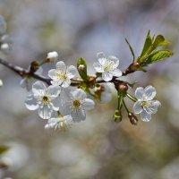вишня в цвету :: Седа Ковтун