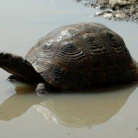 Черепаха :: Alla Swan