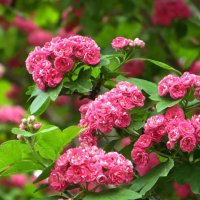 Роскошное цветение :: Татьяна Смоляниченко